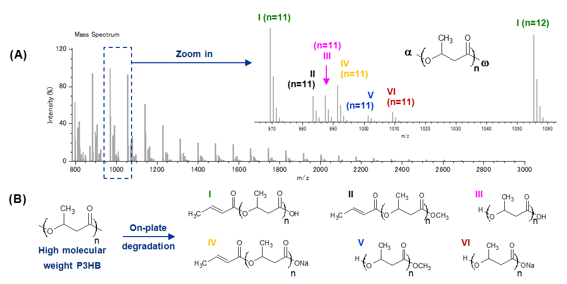 Fig. 2. (A) Mass spectrum of a high molecular weight P3HB following its on-plate degradation (inset: zoom shot with assignments). (B) P3HB ion series noted I-VI.